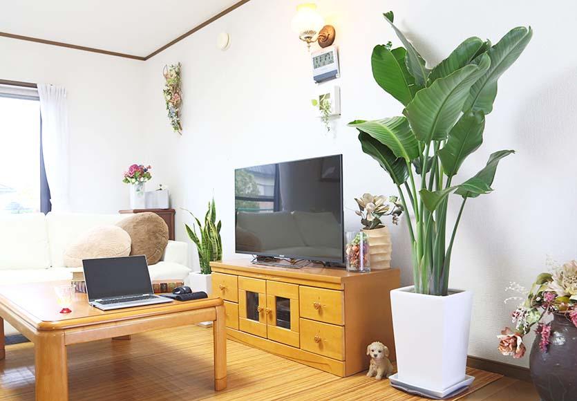 リビング 観葉 植物