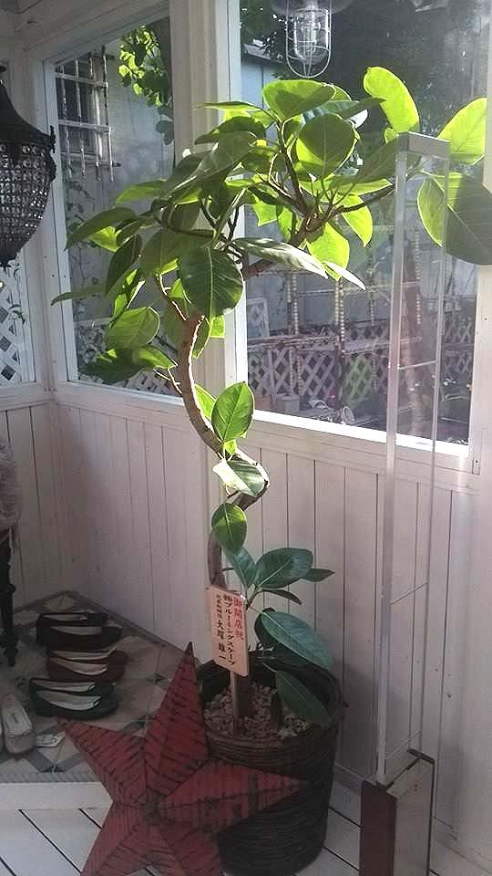 観葉植物のアルティシーマ