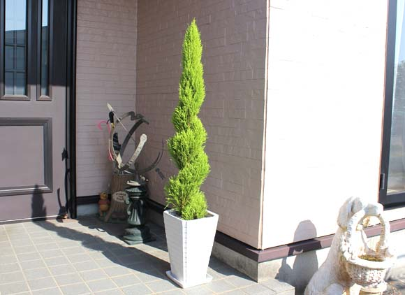 ゴールドクレスト (植物)の画像 p1_36