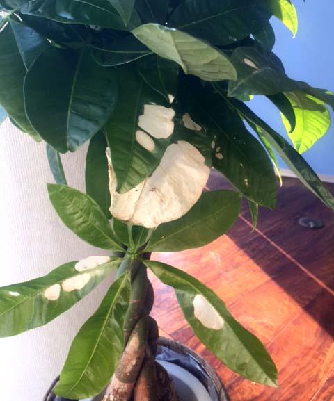 パキラの葉が白く