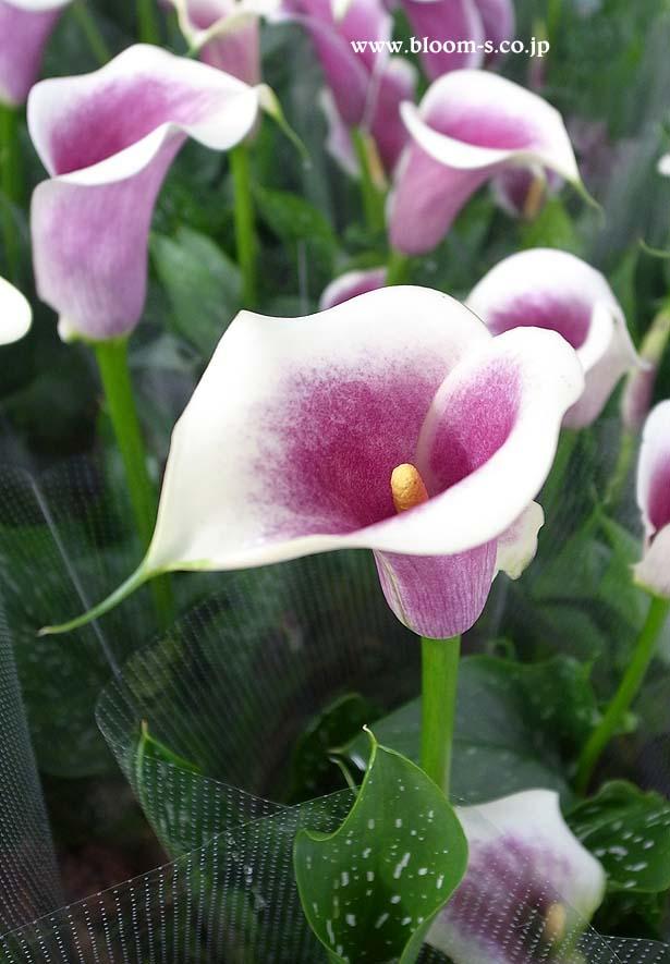 カラーの花のスマートフォン用の壁紙