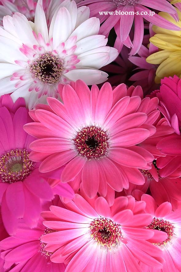 ガーベラの花のスマートフォン用の壁紙