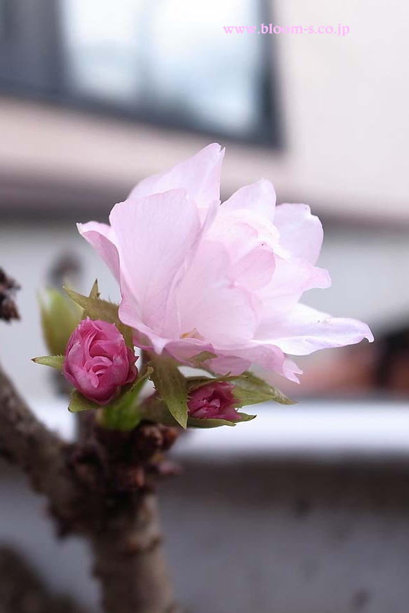 一才桜のスマートフォン用の壁紙