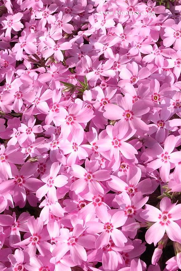芝桜の花のスマートフォン用の壁紙