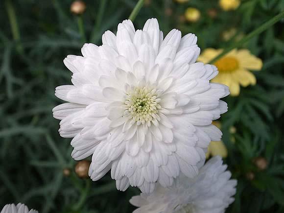 マーガレット (植物)の画像 p1_21
