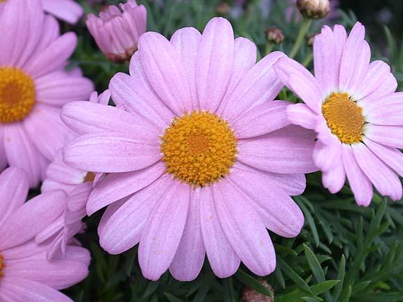 マーガレット (植物)の画像 p1_15