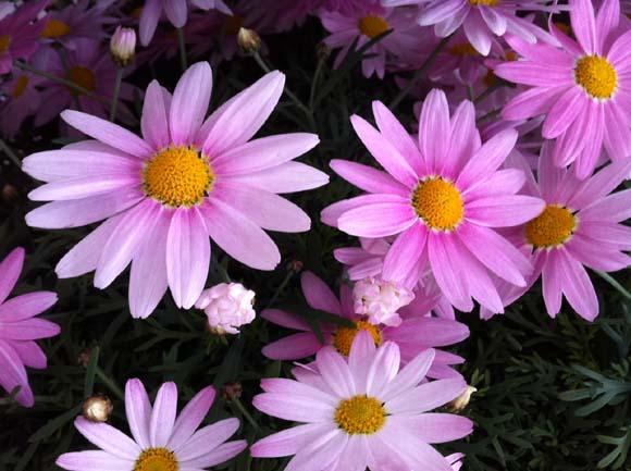 ピンク色のマーガレット