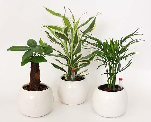 ミニ観葉植物+バルーン ホワイト陶器鉢 3鉢セット