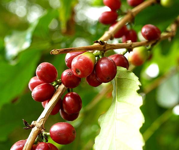 のコーヒーの木