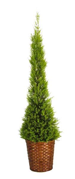 ゴールドクレスト 育て方|観葉植物Dictionary|ブルーミング ...