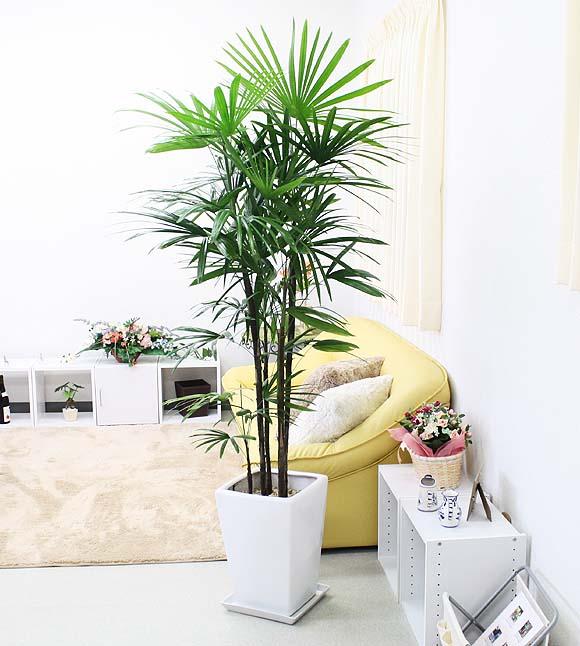 シュロ竹(棕櫚竹・シュロチク)