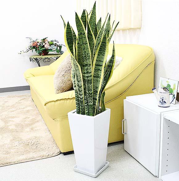 人気観葉植物サンスベリア