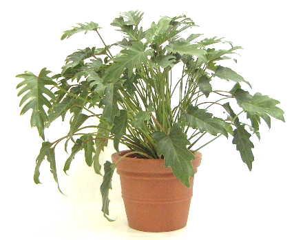 観葉植物 クッカバラ 6号 エコストーンGray 付き