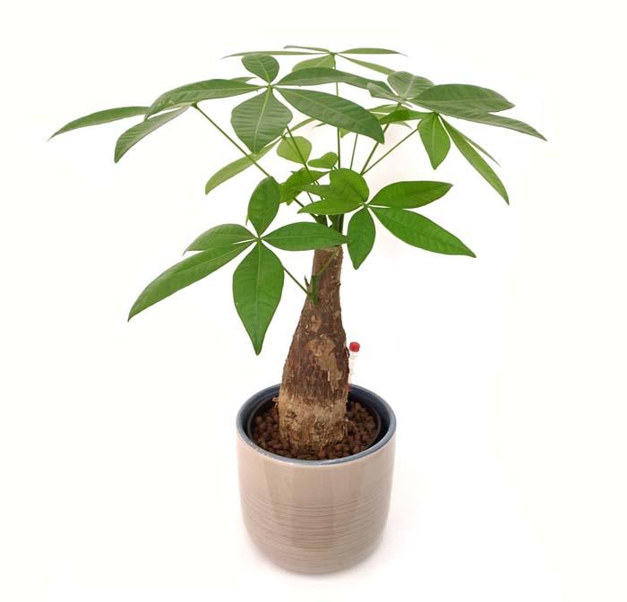 人気観葉植物パキラ