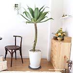 希少な品種の観葉植物 アガベ