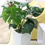 大型サイズの観葉植物