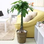 中型サイズの観葉植物
