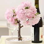 一才桜の通販