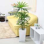 シュロ竹と風水