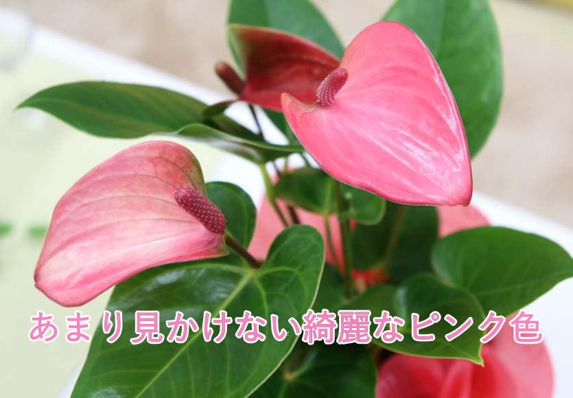 アンスリウム ピンク