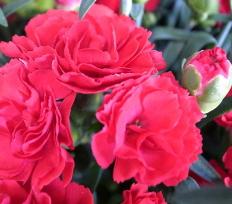 【母の日】カーネーション鉢植え