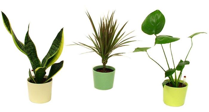 スモール観葉植物 ハイドロカルチャープラスチック鉢(スケルトン)