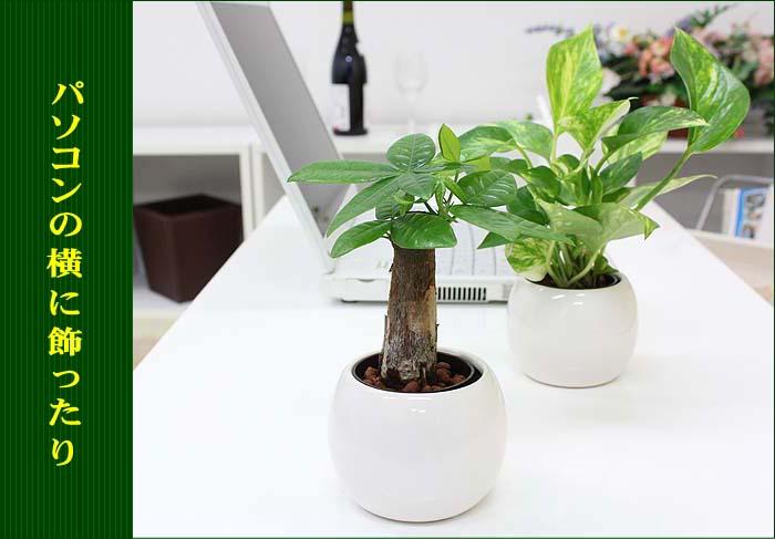ミニ観葉植物 バルーン