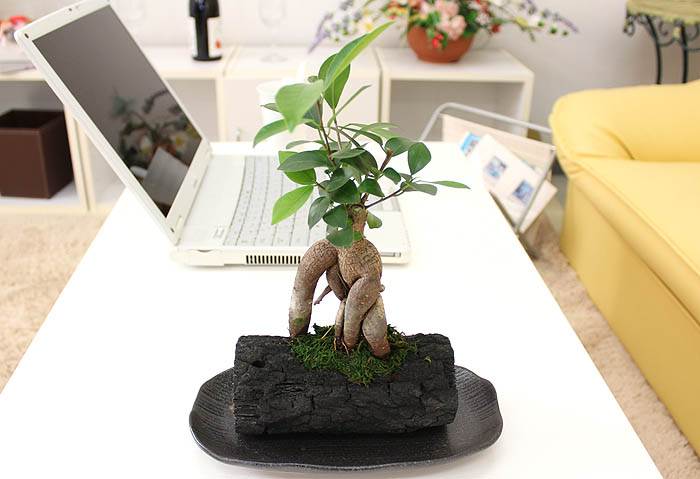 ミニ観葉植物