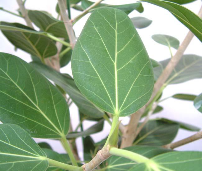 フィカス ベンガレンシス(ベルガルゴム)の葉