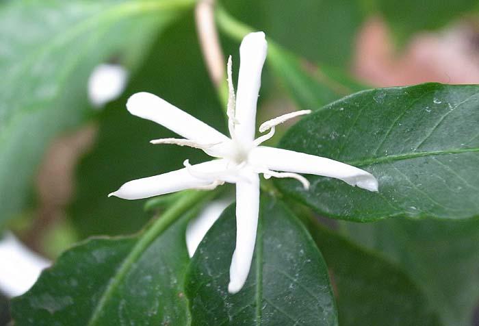 コーヒーの木のお花