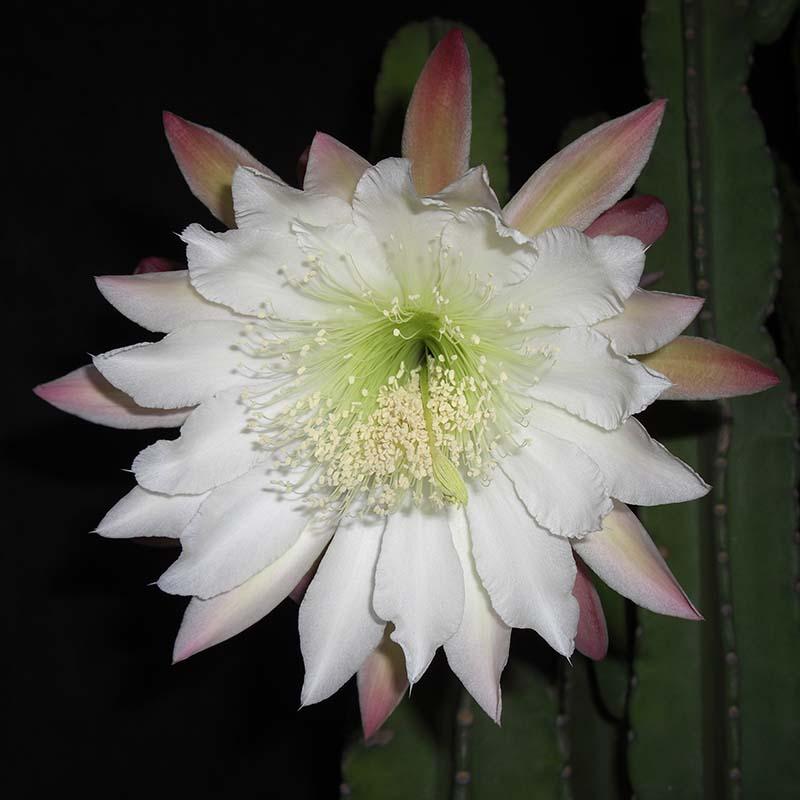 柱サボテンの花