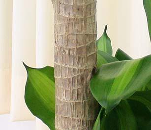 幸福の木の幹