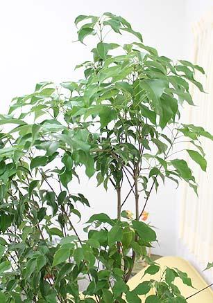 メープルリーフツリー