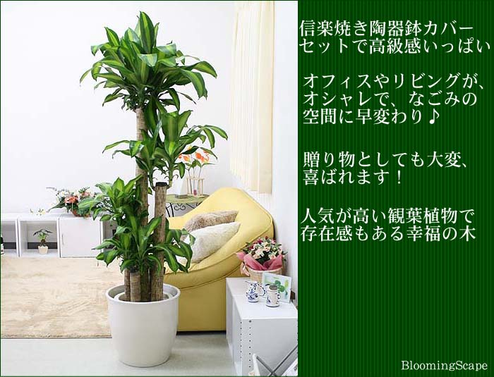 幸福の木 10号
