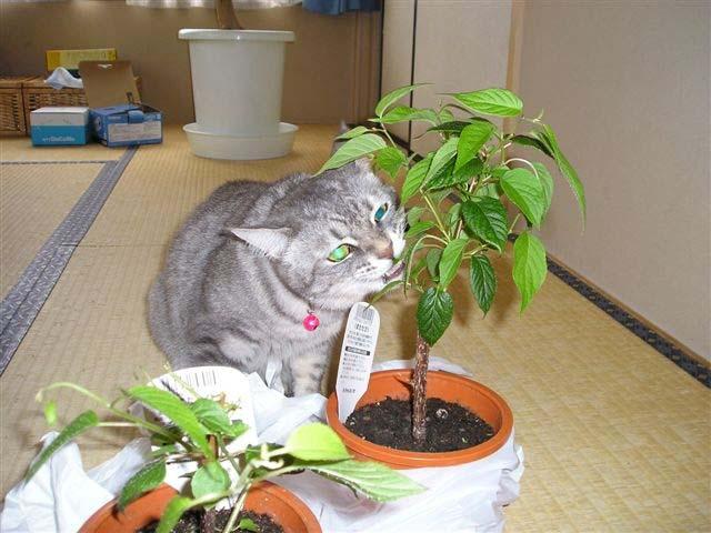 マタタビの木