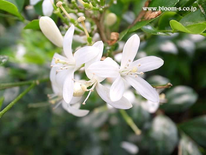 シルクジャスミンの花