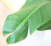 オーガスタの葉
