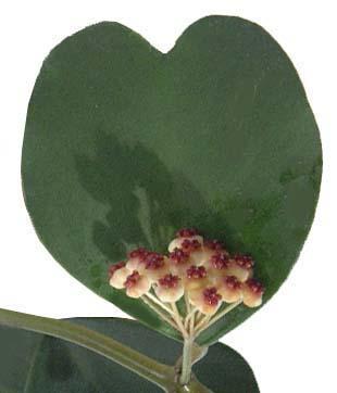 ホヤ・カーリーの花