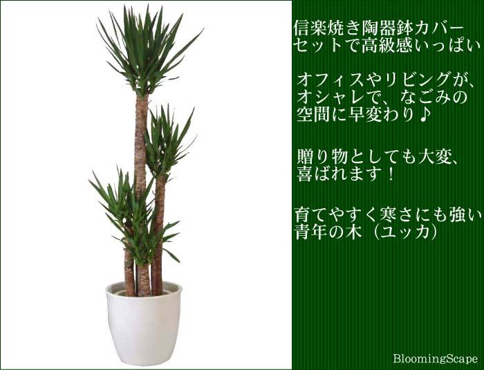 ユッカ(青年の木)