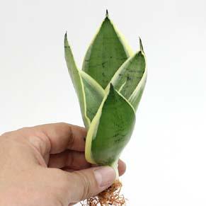Sansevieria trifasciata cv .'Silver Hahnii'